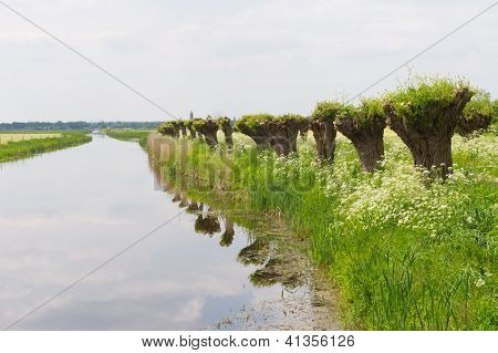 Dutch landscape in spring with row pollard willows and cow parsley