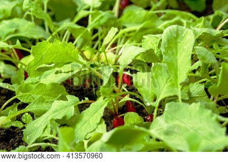 Defocus Crop Radish. Organic Radish Grows In The Ground. Young Radishes Grow In A Bed In The Garden.