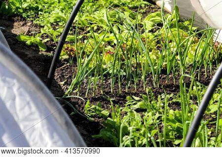 Defocus Vegetable Garden. Onion, Leek, Aragula, Spinach, Salad, Lettuce. Greens, Greenery In Arch So