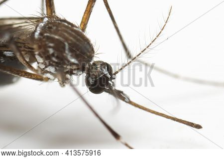 Macro Photography Of Head Of Yellow Fever Mosquito Isolated On White Background