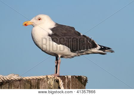 Greater Black-backed Gull By The Ocean