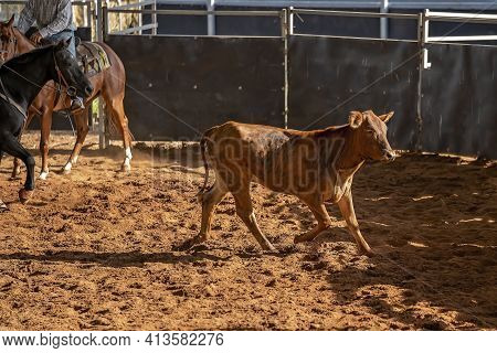 Horse And Rider Cutting Out A Calf From The Herd In A Competition In A Rodeo Arena