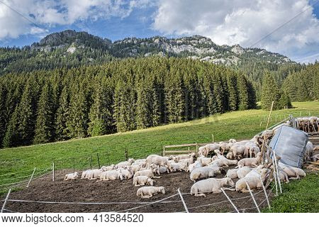 Sheep Farm In Low Tatras Mountain, Slovak Republic. Milk Production Theme.