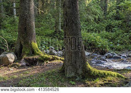Big Coniferous Trees With Water Stream, Low Tatras Mountains, Slovak Republic. Hiking Theme. Seasona