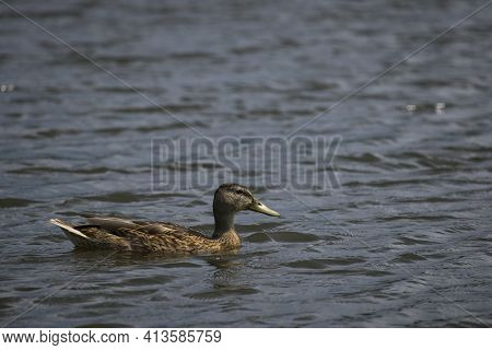 Female Dabbling Mallard Duck Anas Platyrhynchos, With Beautiful Brown Plumage Swimming In Pond In Pa