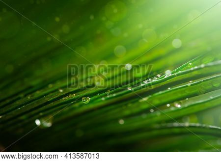 Raindrops On A Green Tropical Palm. Natural Background