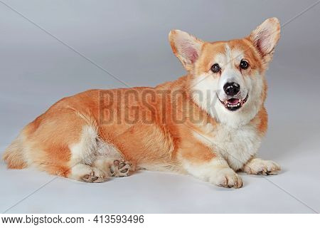 Welsh Corgi Pembroke Is Lying Down On A Gray Background In The Studio Shooting