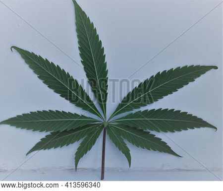 A Fresh Dark Cannabis Leaf Leaning Against A Textured White Wall Close-up, A Symbol Of The Free Use