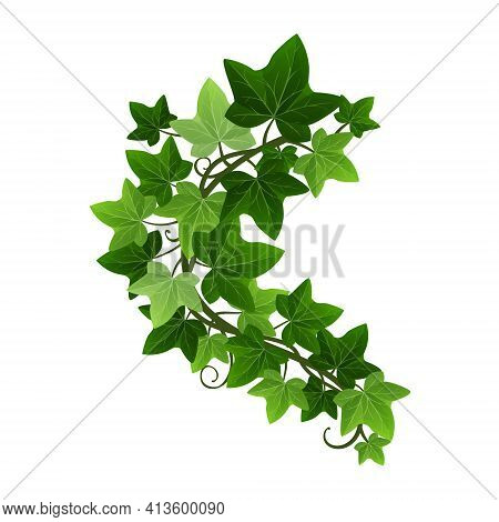 Green Climbing Ivy Creeper Branch Isolated On White Background. Hedera Vine Botanical Design Element