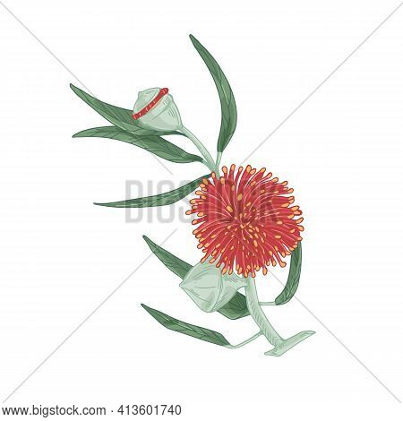 Blooming Eucalyptus With Red Blossomed Flower Isolated On White Background. Drawn Botanical Element