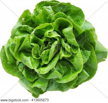 Sowing Lettuce. An Annual Herb Of The Genus Lettuce Of The Asteraceae Family. Delicious Fortified Le