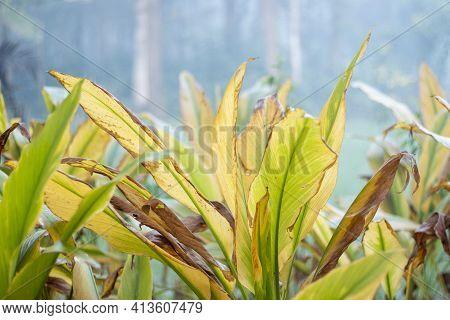 Turmeric Farm,turmeric Is A Flowering Plant, Curcuma Longa Of The Ginger Family