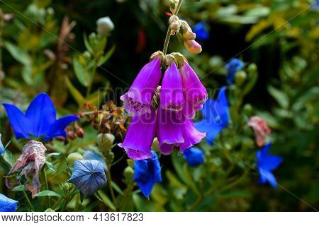 Pink Foxglove That Blooms In Summer In The Botanical Garden