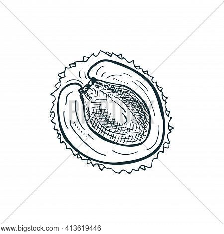 Skech Lychee Cut In Half, Isolated On A White Background. Vector Hand-drawn Illustration.