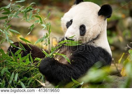 A Young Giant Panda (ailuropoda Melanoleuca) Sitting And Eating Bamboo, Cloudy Day In Autumn