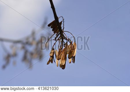 Narrow-leaved Ash Sbranch With Seeds - Latin Name - Fraxinus Angustifolia