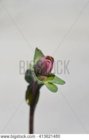 Lenten Rose Flower Bud - Latin Name - Helleborus Orientalis