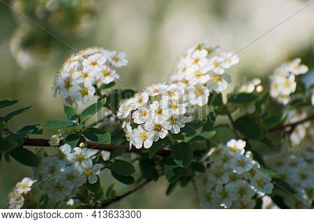 Amazing Fresh  Branch With Inflorescences Of White Spirea Flowers  On Light Green  Floral  Backgroun