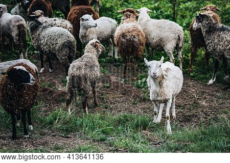 Farm Sheep Lambs In Green Country Fields