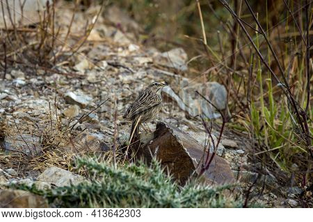 Upland Pipit Or Anthus Sylvanus Closeup Perched On Rock With Eye Contact At Foothills Of Himalaya Ut