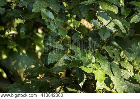 Habitat Image Of A Small Bird Grey-headed Or Grey Headed Warbler Or Basileuterus Griseiceps Perched