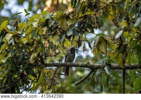 Maroon Oriole Or Oriolus Traillii Bird Portrait Perched In Natural Green Background At Dhikala Zone