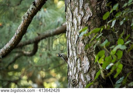 Brown-fronted Or Brown Fronted Woodpecker Or Leiopicus Auriceps Bird On Pine Tree Trunk During Winte