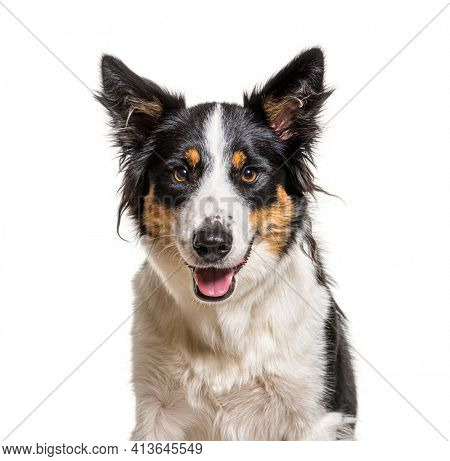 head shot of a panting Border Collie, isolated