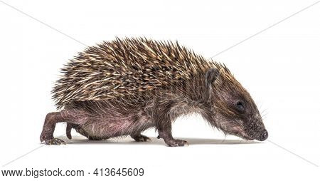 Side view of a baby European hedgehog walking and sniffing the ground on a white background