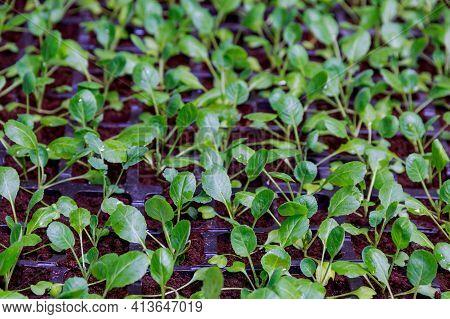 Organic Farming, Seedlings Growing In Greenhouse. Lots Of Cabbage Seedlings In Black Plastic Cassett