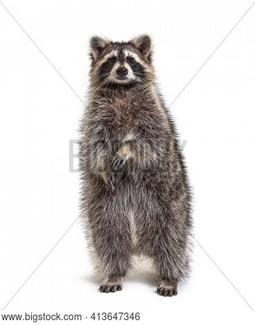 Raccoon on hind legs looking at the camera, isolated on white