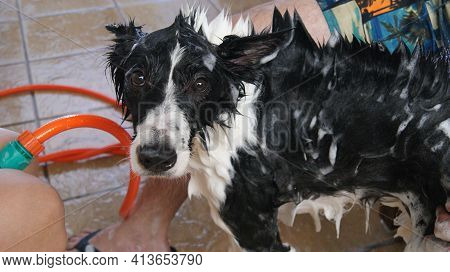 Dog Border Collie Taking A Shower With Mohawk Style, Brazil, South America Posing For The Camera In