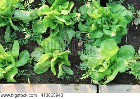 Lettuce , Green Oak Lettuce On The Farm