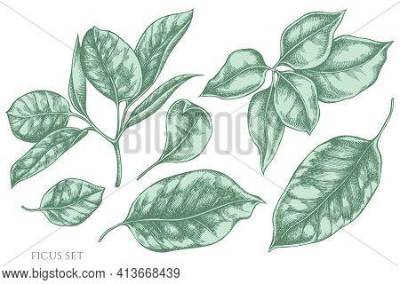 Vector Set Of Hand Drawn Pastel Ficus Stock Illustration