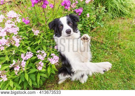 Outdoor Portrait Of Cute Smiling Puppy Border Collie Sitting On Grass Flower Background. New Lovely