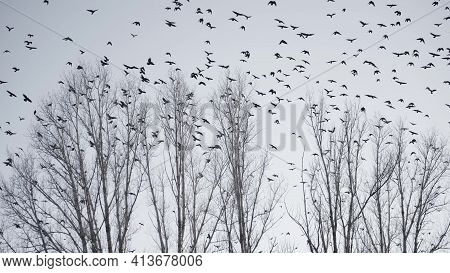 Flock Of Birds Flying In The Sky Crows. Chaos Surprise Of Death Concept. Group Of Birds Flying In Th