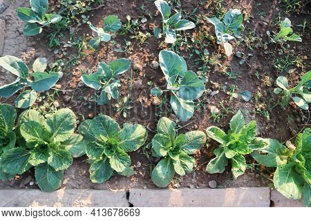 Brassica Juncea, Green Lettuce And Kale Or Lettuce On The Farm