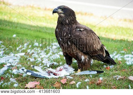 Immature Bald Eagle Eating A Dead Seagull On Green Grass