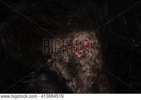 Close-up Photo Of A Black Cat With Otitis And Scratching Dermatitis