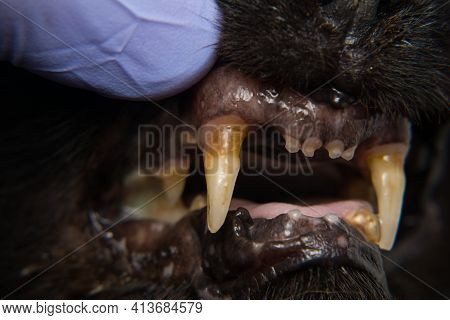 Cat Teeth With Gingival Retraction After Calicivirus Infection