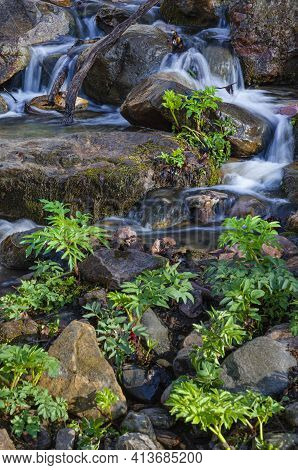 A Small Creek Bubbles Through The Glen In Spring With Golden's Alexanders Populating The Stream Bed