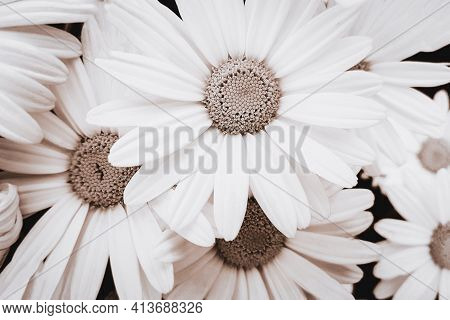 Close-up View Of Blooming Pyrethrum Flowers In The Garden. Image In Monochromatic Version And Sepia