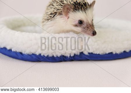 Hedgehog In A White Fur Bed On A Light Beige Background.pets. Gray Hedgehog. Female Hedgehog. Pygmy