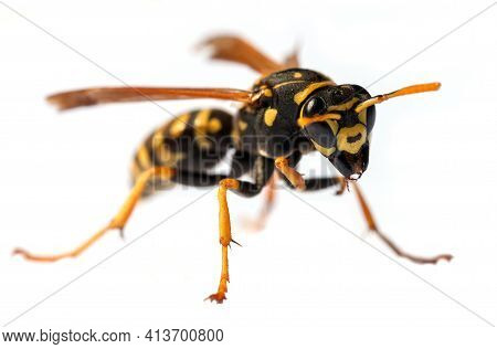 European Common Wasp German Wasp Or German Yellow Jacket Isolated On White Background In Latin Vespu