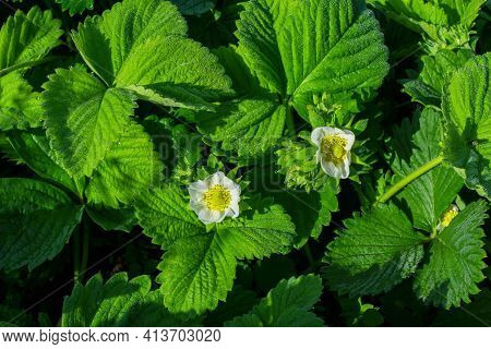 Blooming Strawberry Bush (latin: Fragaria) In The Morning Dew, Close-up. Flowering Of Strawberry Bus