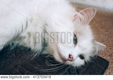 Close Up View Of Sick Young White Cat Lies On Brown Blanket In A Veterinary Clinic For Pets. Feline