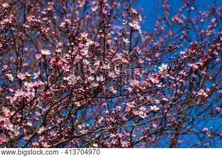 Flowering Pretty In Pink Bird Cherry Tree On The Blue Sky Background In The Spring Garden. Photograp