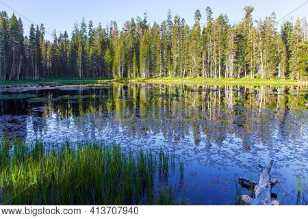 Picturesque quiet grassy lake in a coniferous forest. Sunrise. Majestic coniferous forest are reflected in the smooth water. The Tioga Road and Pass in Yosemite Park. USA