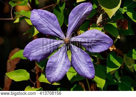 Close-up Of Lilac Clematis Flower In The Summer Garden. Macro Photography Of Lively Nature.