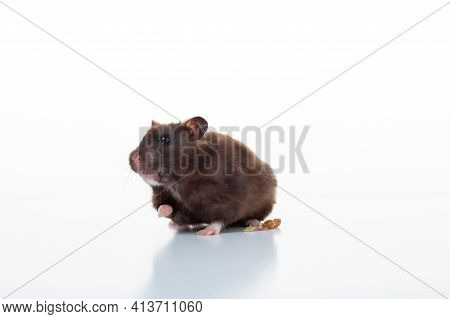 Hamster Brown On A White Background. Domestic Hamster On A White Background.